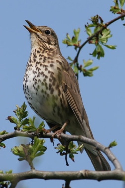 song_thrush_nigel_pye